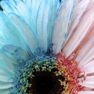 Kids' Science Experiment: Bicolor Flowers