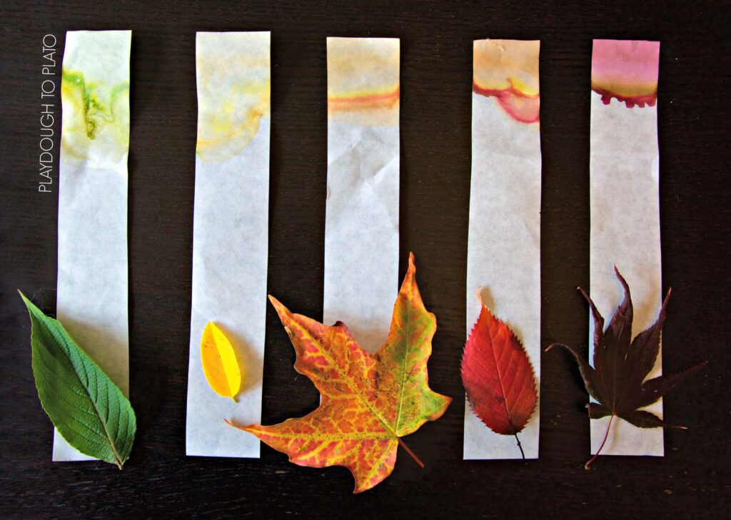 What an awesome kids science experiment for fall!! See how the leaves make their colors with leaf chromatography.